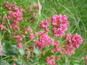 valerijana biljka