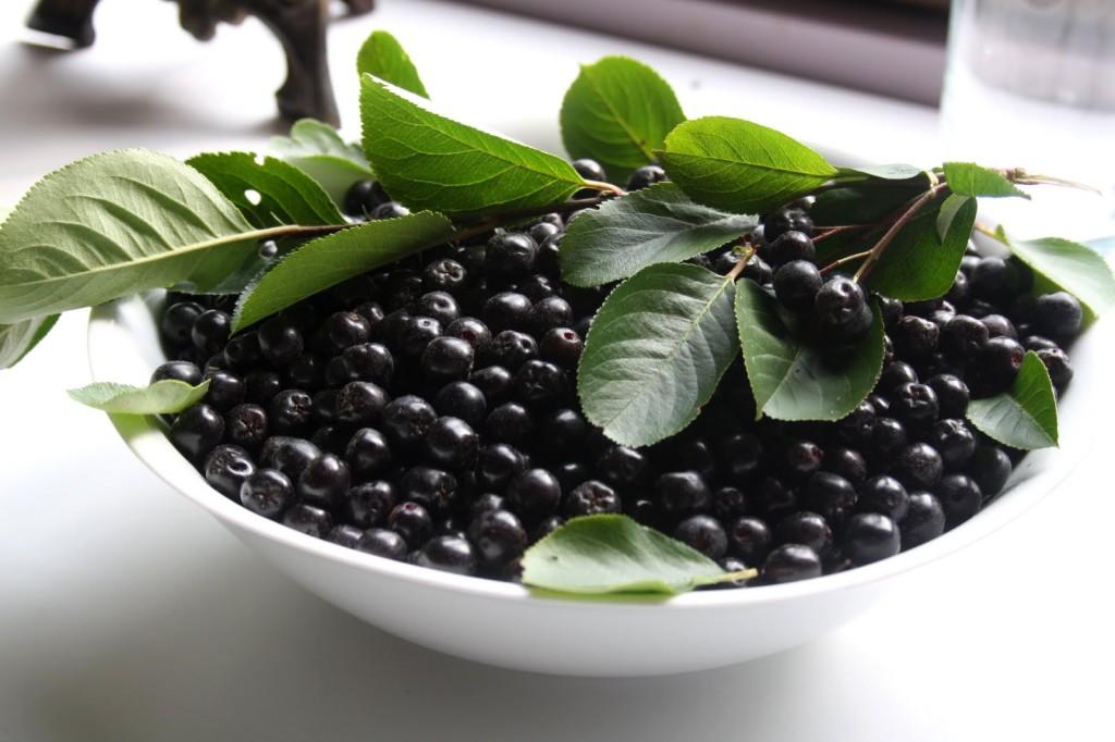 biljka aronija