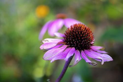 Ehinacea kapi - odlicne za imunitet i zdravlje cena