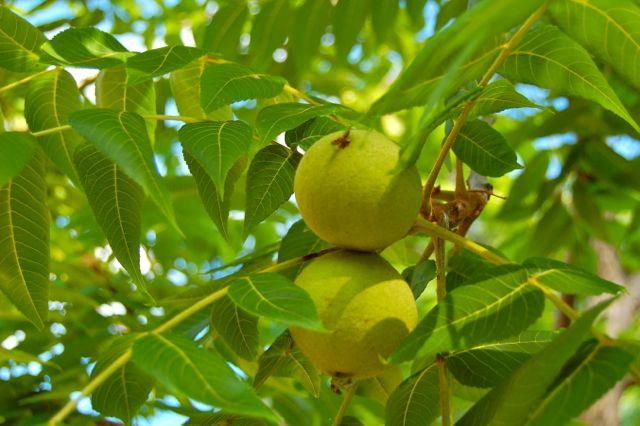 Sadnja, uzgoj i sorte oraha