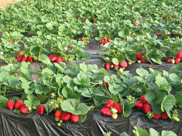 Jagode penjačice – uzgoj i sadnja