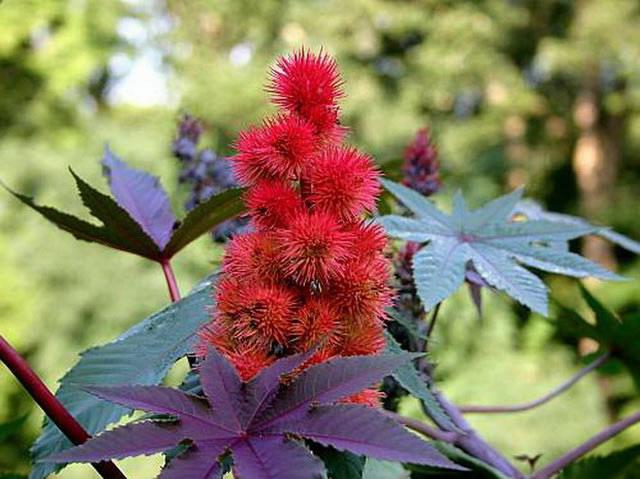 Otrovne biljke za ljude