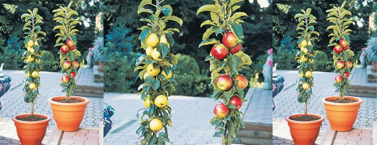 Stubaste jabuke - sorte, sadnice, sadnja, uzgoj i orezivanje