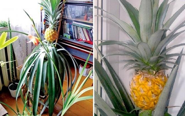 Kako posaditi i uzgajati ananas