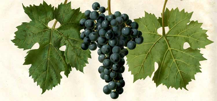 Zaštita vinove loze od bolesti