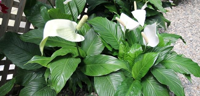 Spatifilum biljka – sadnja, uzgoj, nega, lekovitost i upotreba