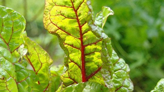 Blitva povrće - lekovitost, uzgoj, upotreba i recepti