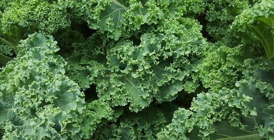 Kelj povrće - lekovitost, uzgoj, upotreba i recepti
